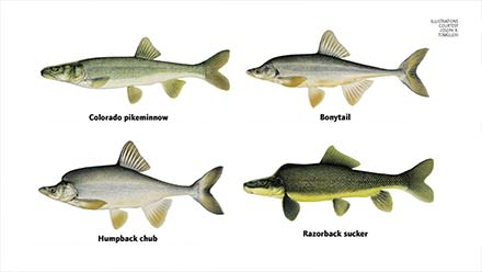 Endangered Fish of the Colorado River