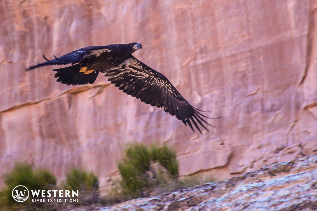 Golden Eagle in Westwater Canyon